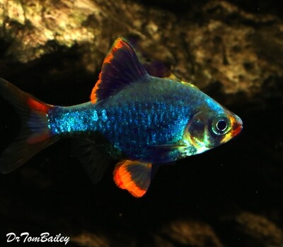 Premium Emerald Green Tiger Barb
