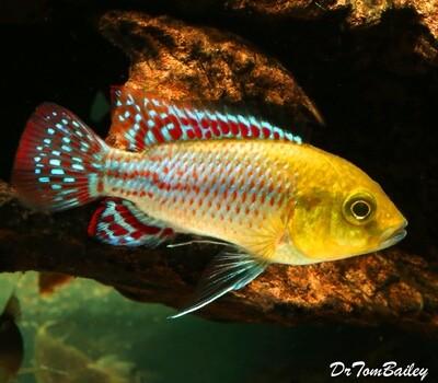 Premium, Rare, Pseudocrenilabrus Nicholsi, Dwarf Cichlid, from the Congo River Basin