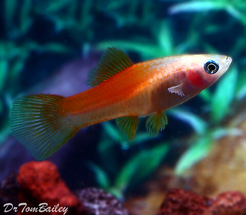 Premium FEMALE Pineapple Swordtail