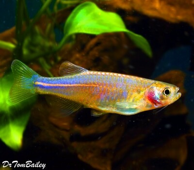 Premium Rare Pearl Danio, Nano Fish