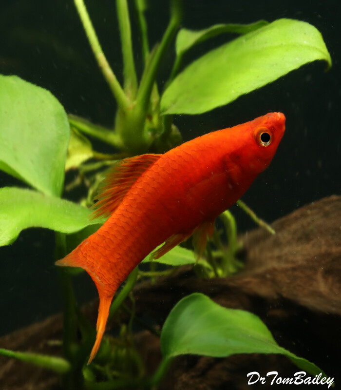 Premium Red Velvet Swordtail