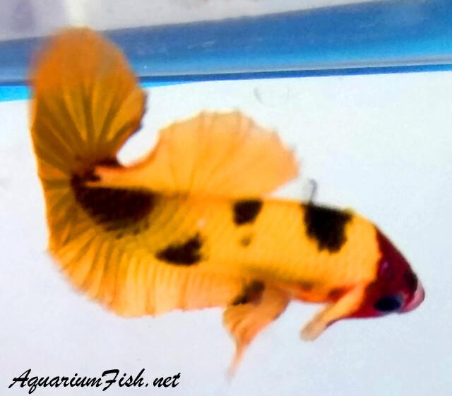 Premium MALE WYSIWYG Rare Nemo Candy Koi Plakat Betta