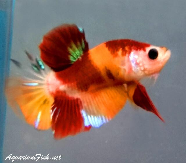 Premium MALE WYSIWYG Rare Candy Nemo Koi Plakat Betta