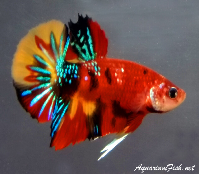 Premium MALE  Super Candy Koi Plakat Betta