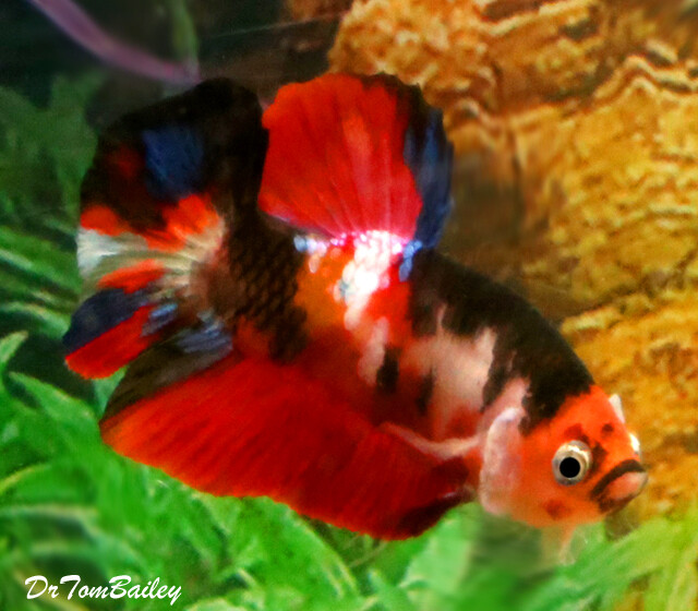 Premium MALE Rare Candy Koi Plakat Betta