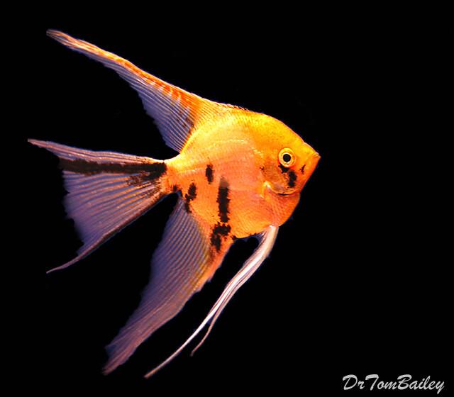Premium Gold Marbled Veiltail Angelfish