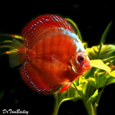 Premium Rare Alenquer Red Discus Fish