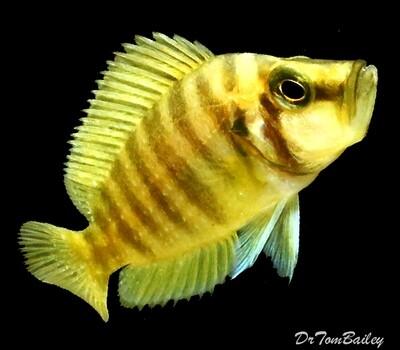 Premium Rare WILD, Lake Tanganyika Gold Head Altolamprologus Compressiceps Cichlid
