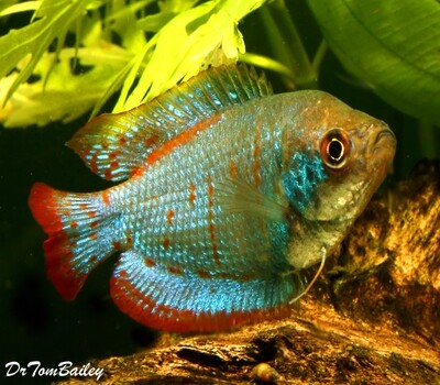Premium New and Rare, Young MALE Blue Coral Dwarf Gourami