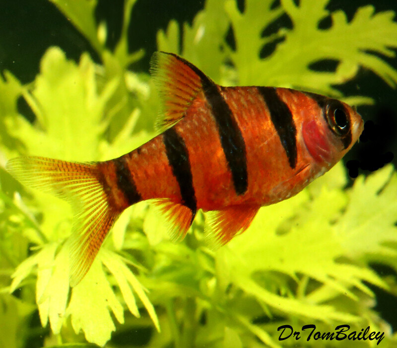 Premium Rare and New, 5-Banded Barb