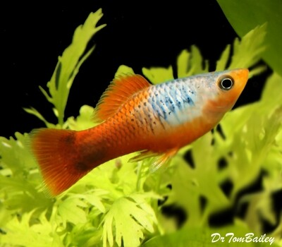 Premium Red Tail Blue Variatus Platy