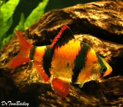 Premium New Electric Orange GloFish Tiger Barb