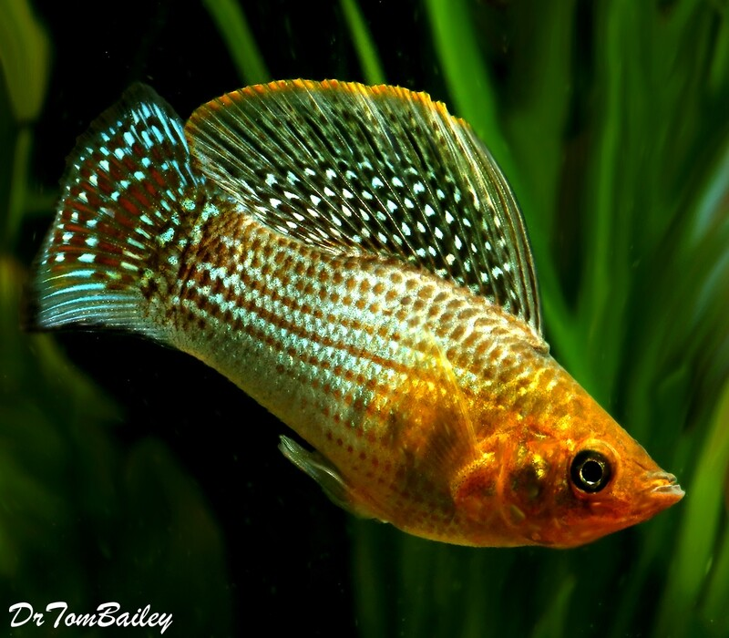 Premium MALE Green Sailfin Molly