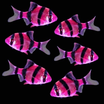 Premium New Electric Very-Purple GloFish Tiger Barb