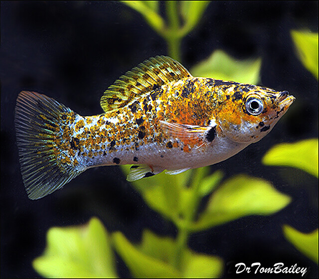 Premium Rare, FEMALE Cream Dalmatian Sailfin Molly