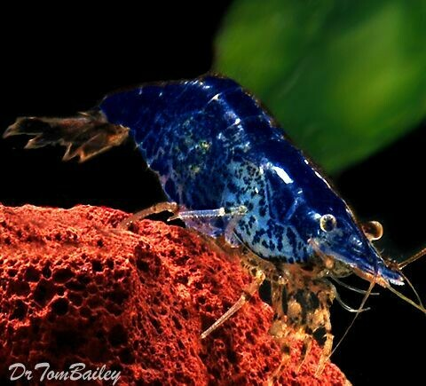 Premium Blueberry Shrimp, Nano Shrimp