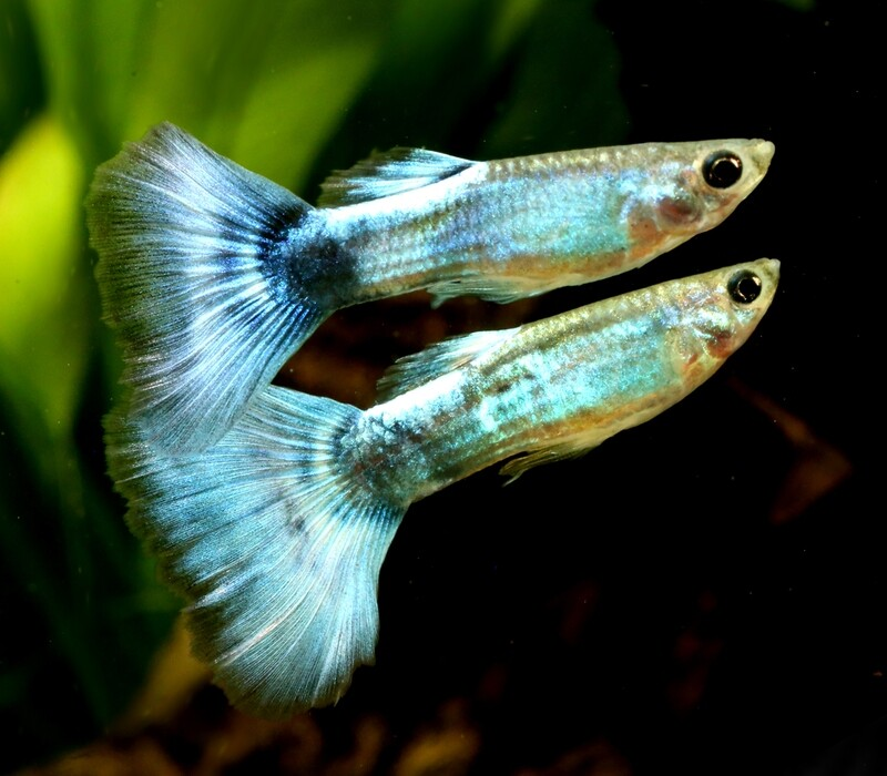 Premium MALE Blue Diamond Fancy Guppy
