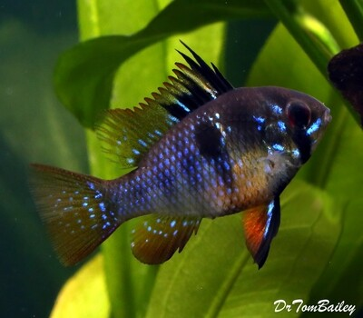 Premium, New, Rare, German Black Ram Cichlid