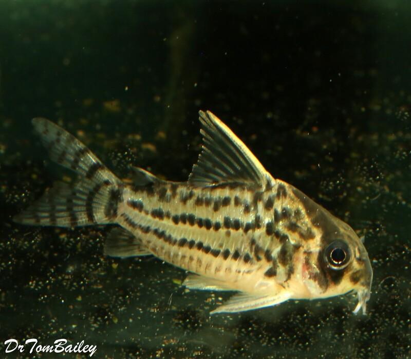 Premium, New, WILD Schwartzi Corydoras Catfish