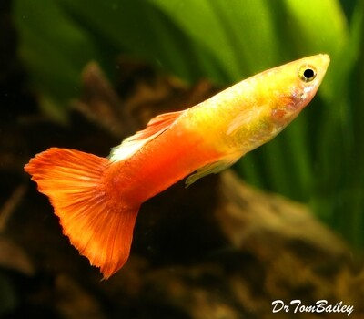 Premium MALE Red Flamingo Fancy Guppy