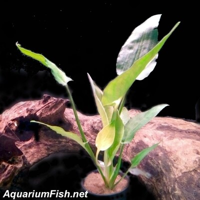 Premium,Rare, New, Cryptocoryne Pontederiifolia, Potted Plant