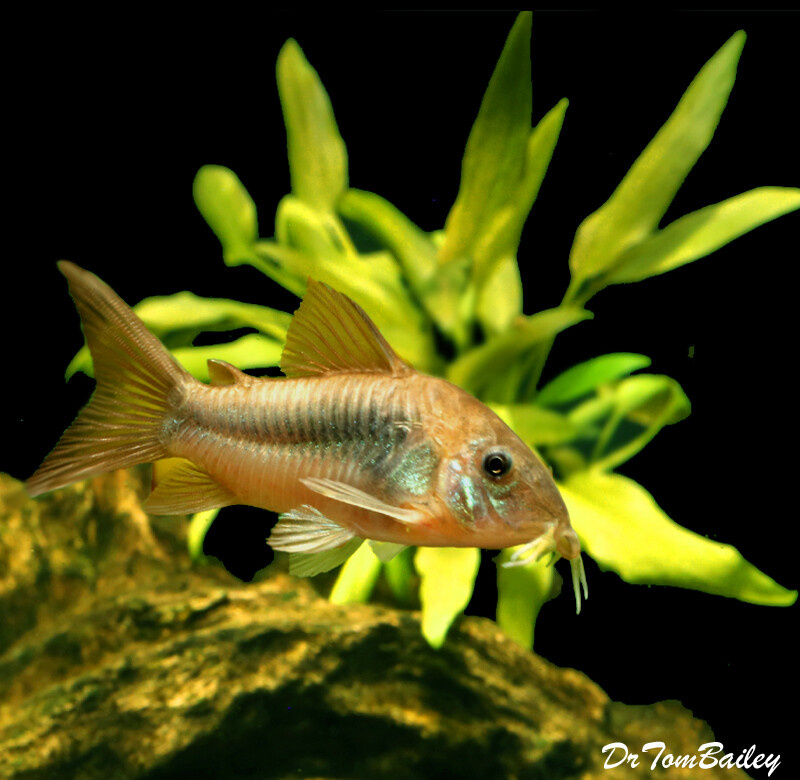 Premium Bronze Dwarf Corydoras Catfish, Corydoras aeneus
