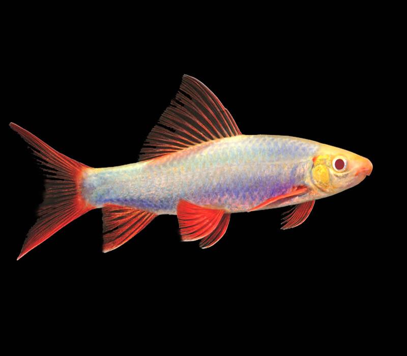 Premium Galactic Very-Purple GloFish Rainbow Shark