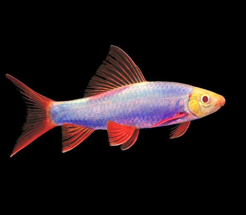 Premium Cosmic Blue GloFish Rainbow Shark