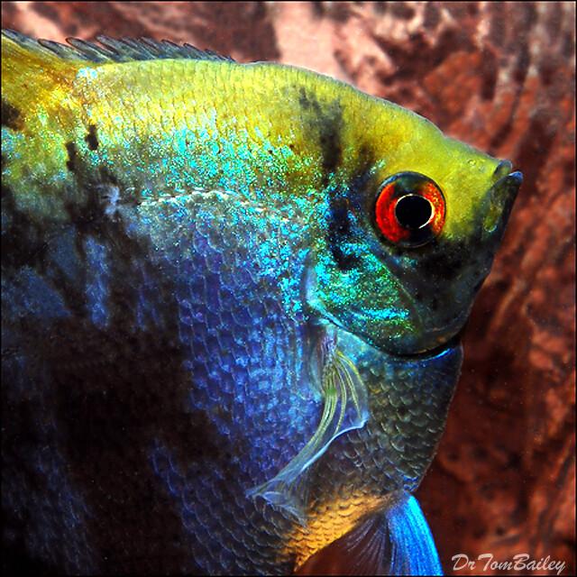 Premium Leopard Angelfish