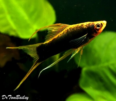 Premium, Rare, New, Black Lyretail Swordtail