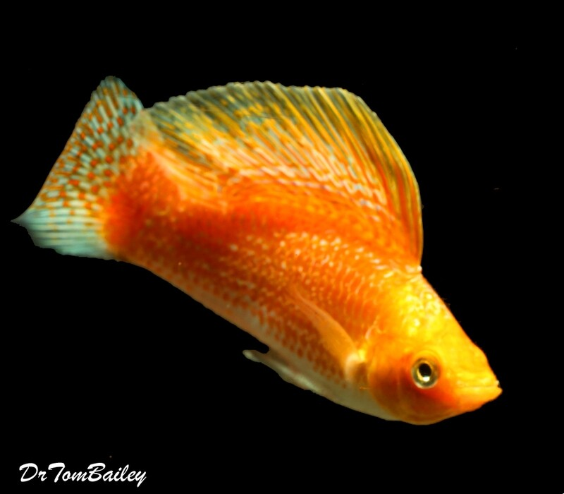 Premium MALE Creamsicle Sailfin Molly