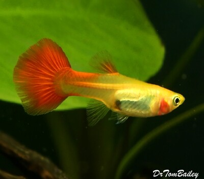 Premium FEMALE Coral Red Flamingo Fancy Guppy