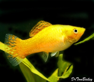 Premium FEMALE Creamsicle Sailfin Molly