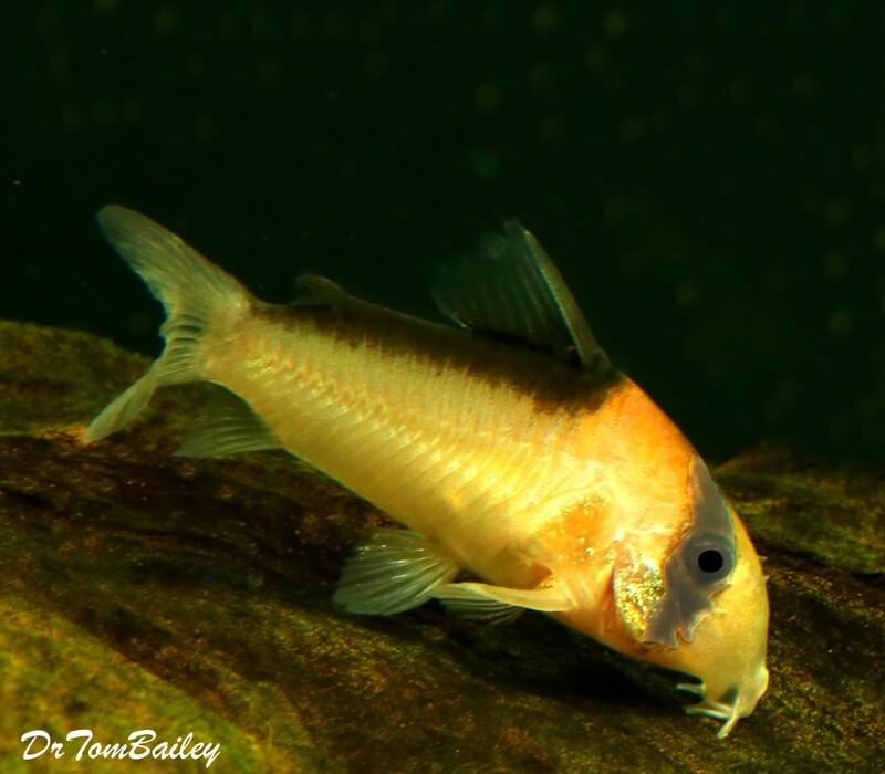 Premium WILD, Rare and New, Adolfoi Corydoras Catfish.