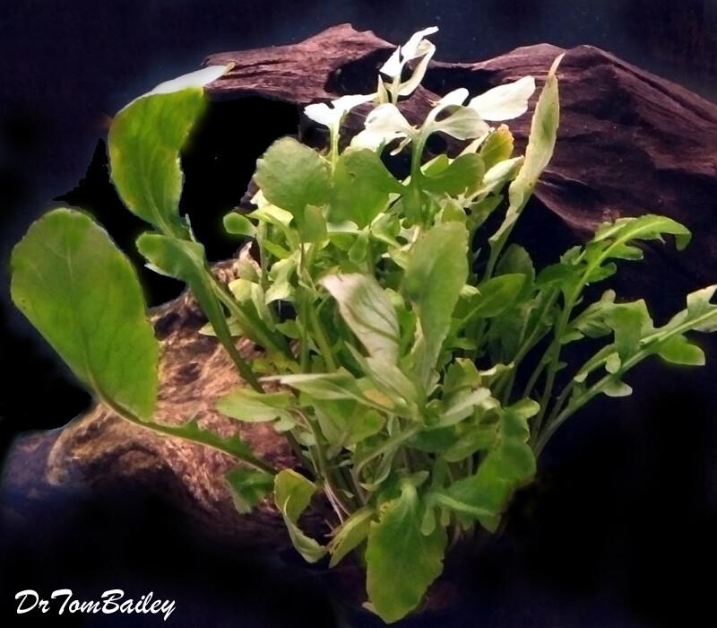 Premium Rorippa Aquatica, Potted Plant