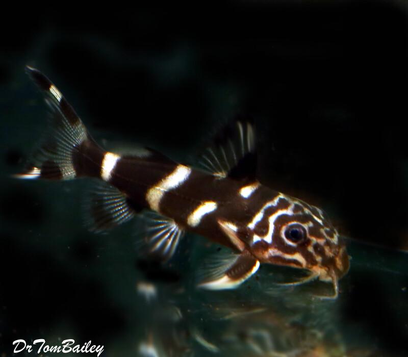 Premium Rare New, Mustard Catfish, Synodontis albolineatus