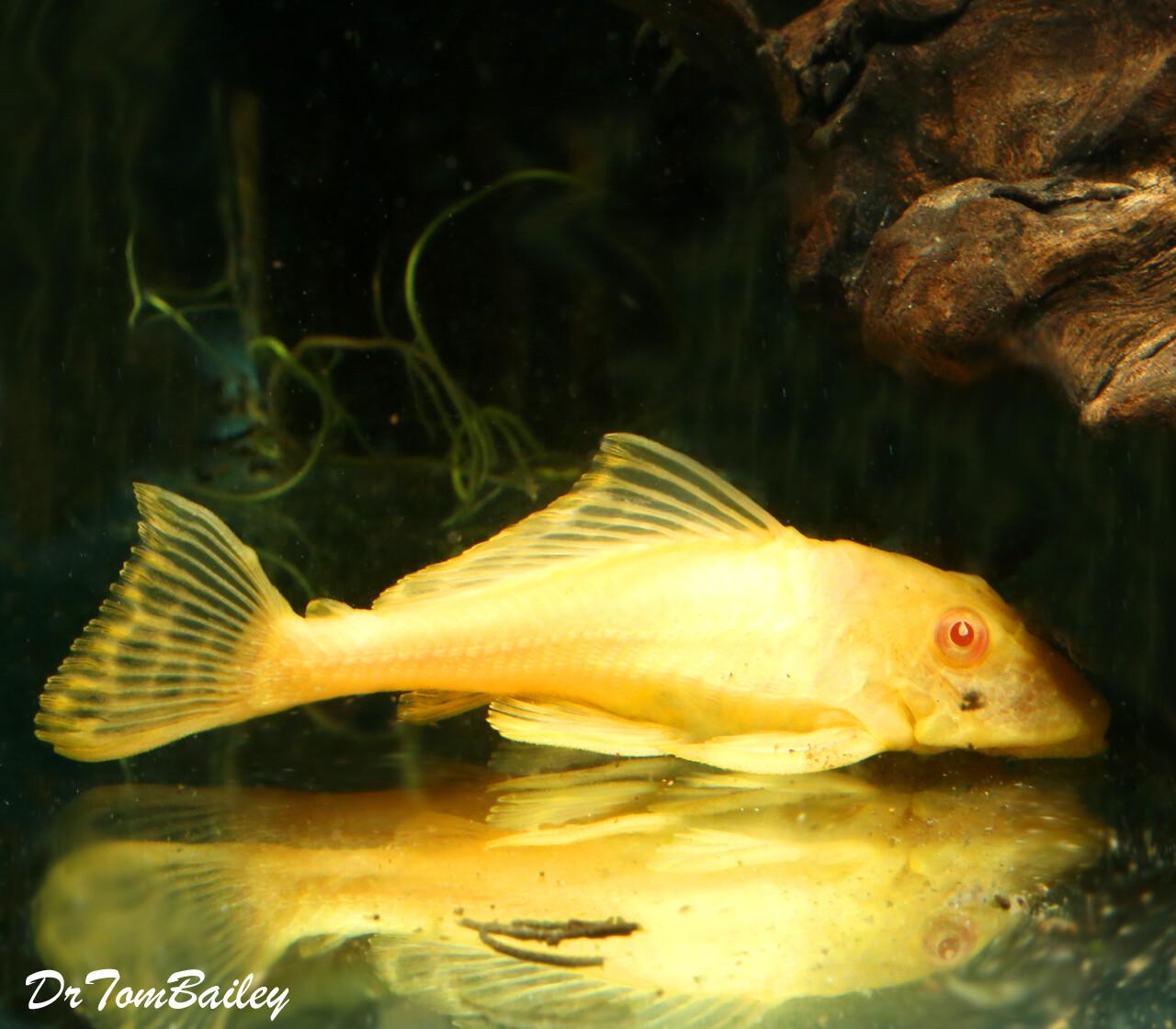 Premium Rare New, Red-Eye Albino Trinidad Pleco