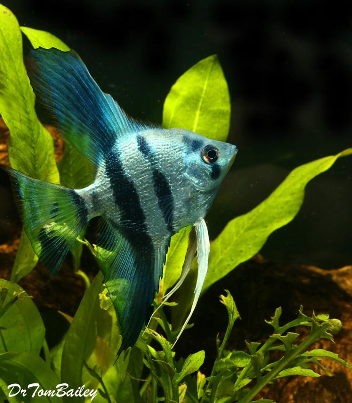 Premium Rare and New, Blue Pearlscale Angelfish