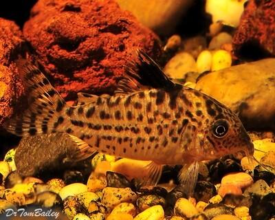 Premium WILD, Melanistius Corydoras Catfish