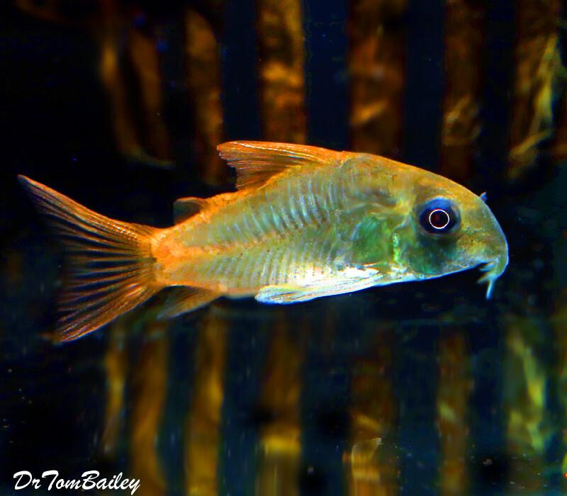 Premium WILD, Concolor Corydoras Catfish