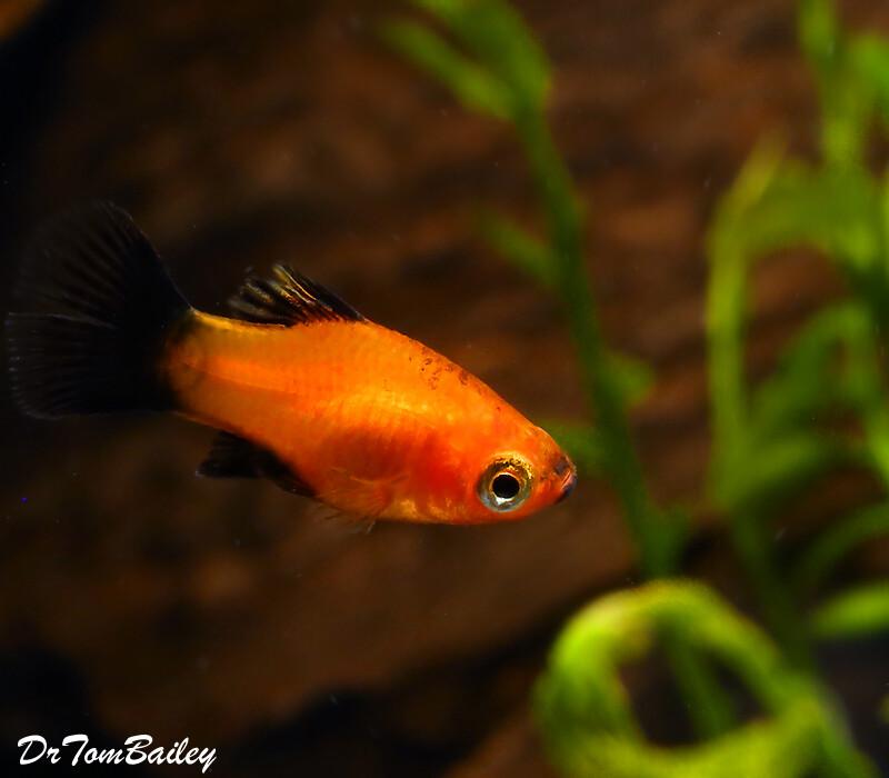 Premium, Rare, Dwarf Coral Red Wag Platy, Nano Fish
