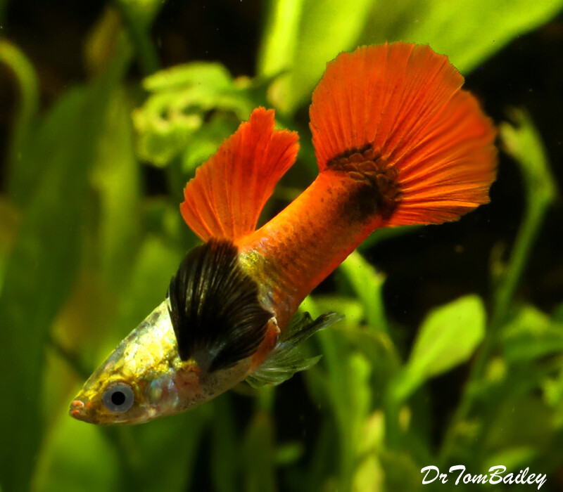 Premium New Rare Male Red Tail Dumbo Ear Guppy