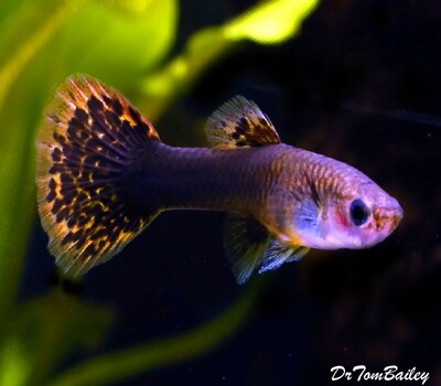 Premium New Rare, FEMALE Dumbo Ear Guppy