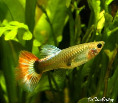 Premium New FEMALE Blue Diamond Fancy Guppy