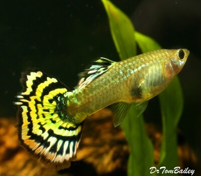 Premium New FEMALE Tiger Fancy Guppy