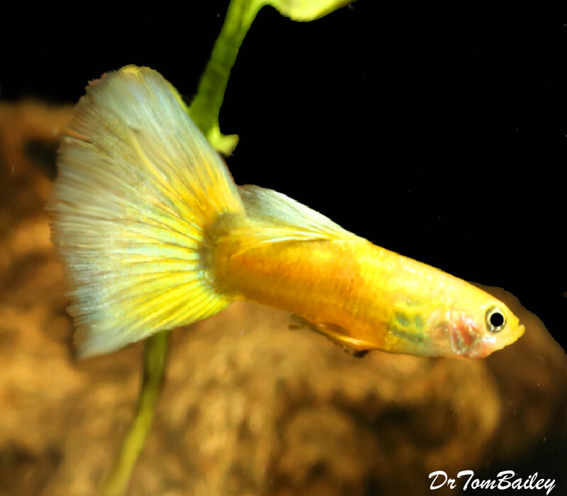Premium New MALE Yellow Multicolor Fancy Guppy