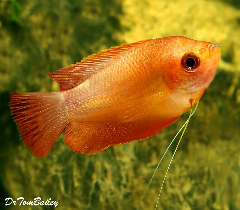 Premium Sunset Thick-Lipped Gourami, Trichogaster labiosa