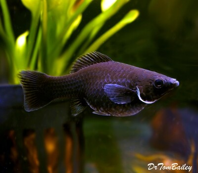 Premium FEMALE Black Sailfin Molly