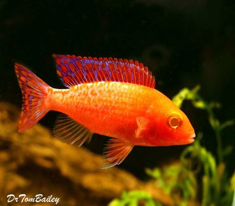 Premium Rare New, Albino Scarlet Peacock from Lake Malawi-Males and Females