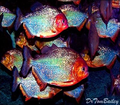 Premium Piranha, Tank Raised and very colorful